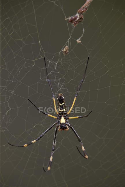 Aranha de pernas em faixas círculo dourado — Fotografia de Stock
