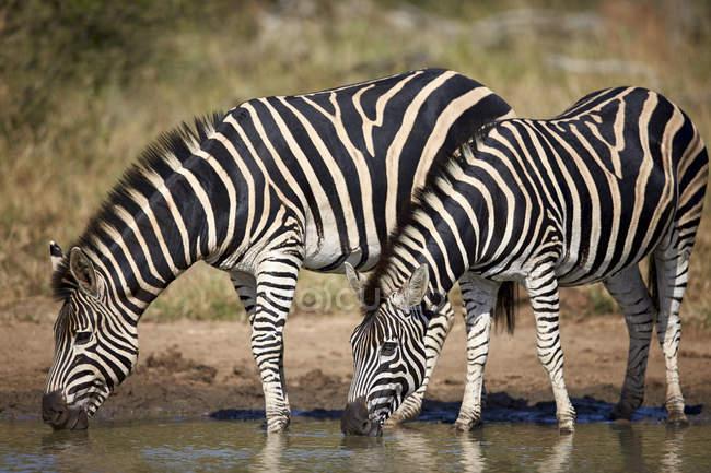 Два поширених зебр пити — стокове фото