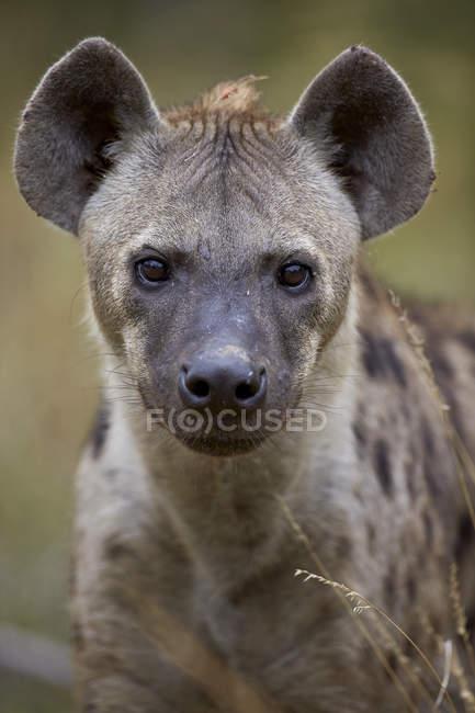Hyäne Fang gesichtet — Stockfoto
