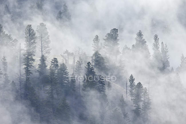 Evergreen trees in fog — Stock Photo