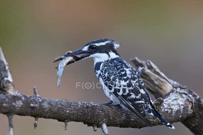 Pied kingfisher con peces de pico - foto de stock