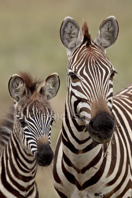 Общие зебр, мать и детёныш — стоковое фото