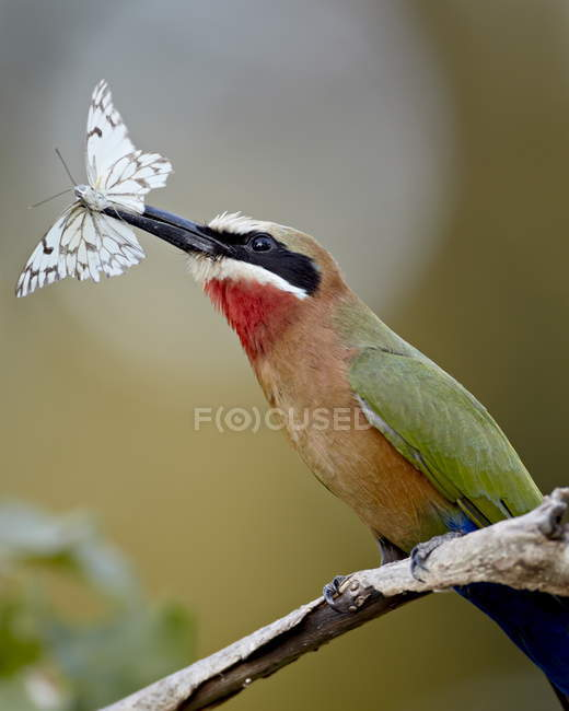 Gruccione frontebianca con farfalla — Foto stock