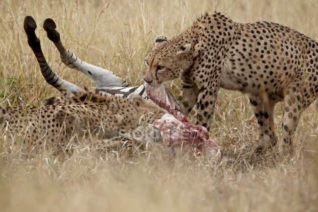 Due ghepardi, Acinonyx jubatus — Foto stock