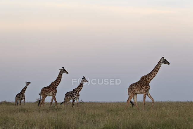 Four Masai giraffes — Stock Photo