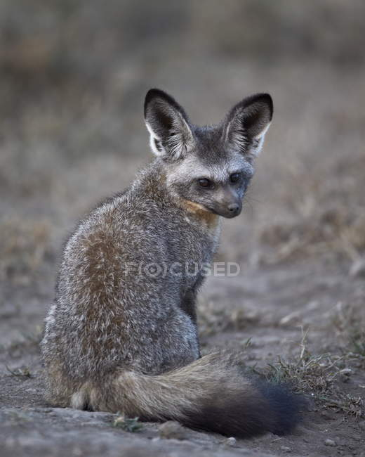 Bat-eared fox, Otocyon megalotis — Stock Photo