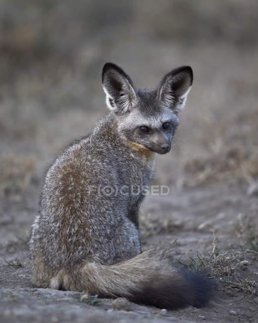Zorro de orejas de murciélago, Otocyon megalotis - foto de stock
