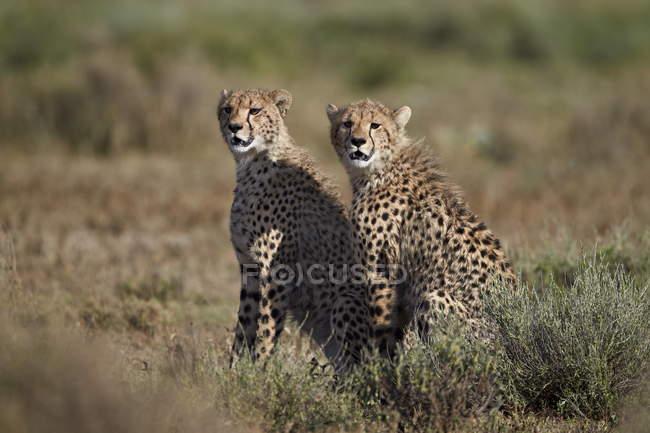 Гепарды, Acinonyx jubatus — стоковое фото