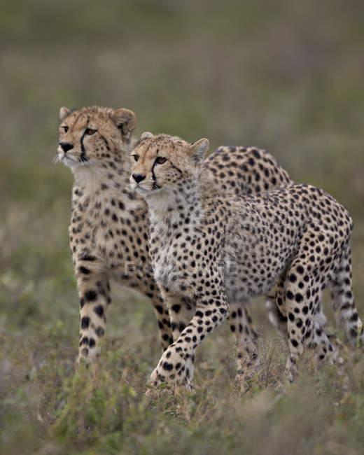 Ghepardi, Acinonyx jubatus — Foto stock
