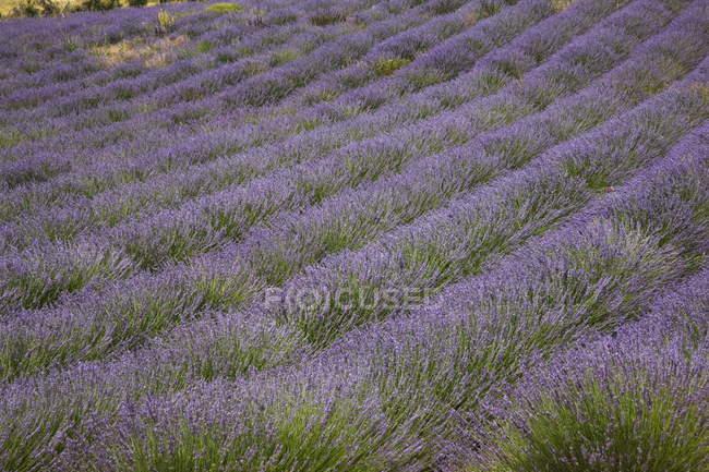Лаванда поля, Прованс — стокове фото