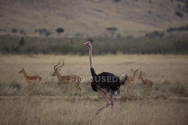 Impala e Maasai struzzo — Foto stock