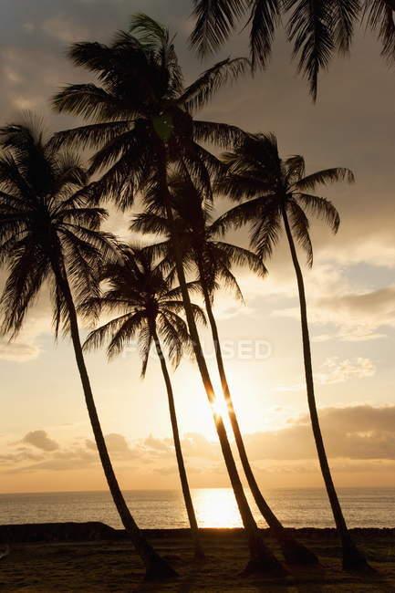 Пальмові дерева на заході сонця — стокове фото