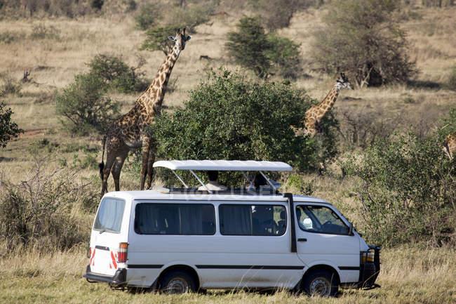 Turisti che guardano giraffe Masai — Foto stock