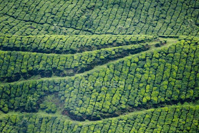 Aerial view of Tea gardens — Stock Photo | #142972115
