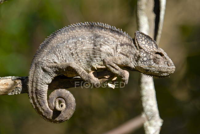 Caméléon géant de Madagascar — Photo de stock