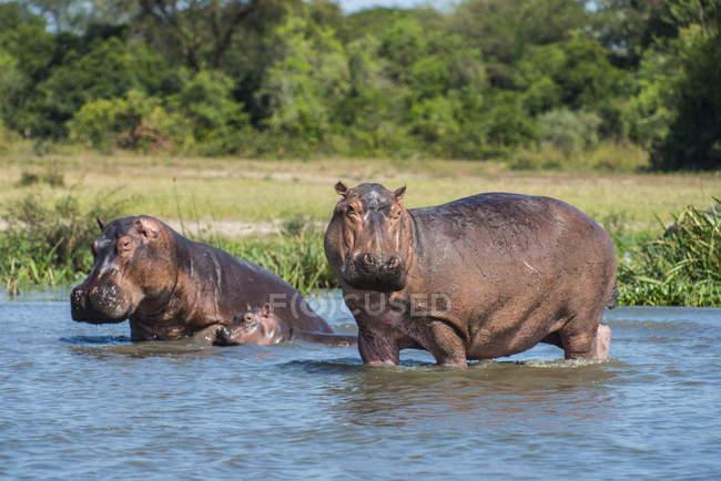 Родина hippopotamuses у воді — стокове фото
