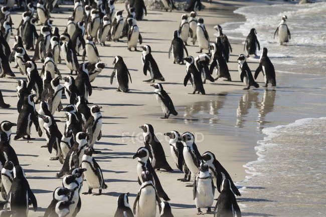 Afrikanischen Pinguinkolonie zu Fuß an der Küste — Stockfoto