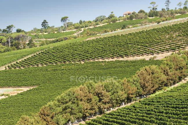 Linhas gráficas de vinhas verdejantes inclinadas — Fotografia de Stock
