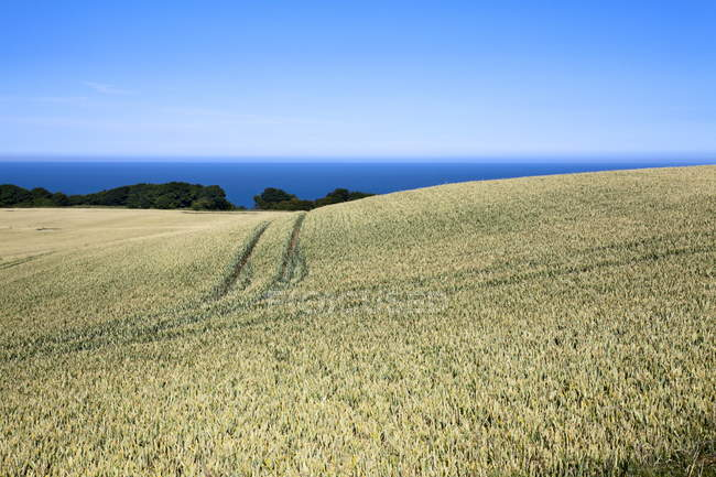 Wheat crop ripening by the North Sea at Osgodby — Stock Photo