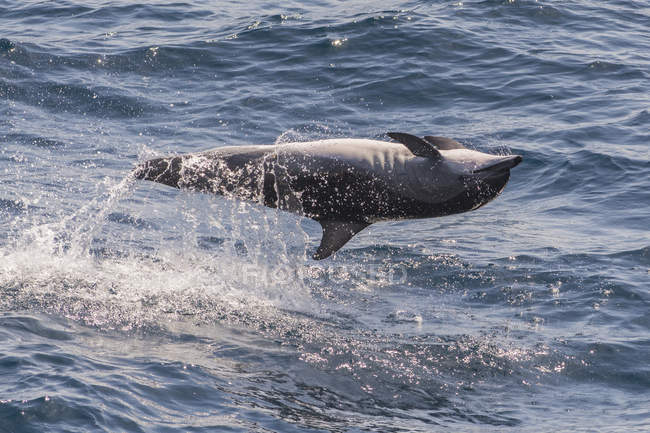 Clymene dolphin in habitat — Stock Photo