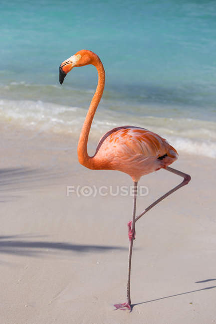 Pink Flamingo bird on Flamingo beach — Stock Photo