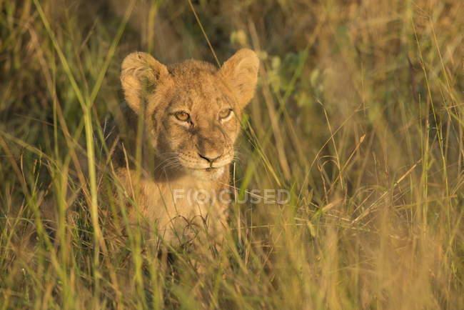 Lion cub lying on ground — Stock Photo