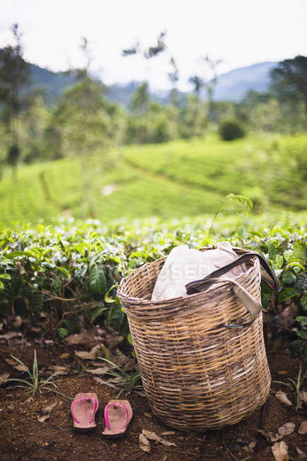 Tea pluckers basket and shoes at tea plantation — Stock Photo