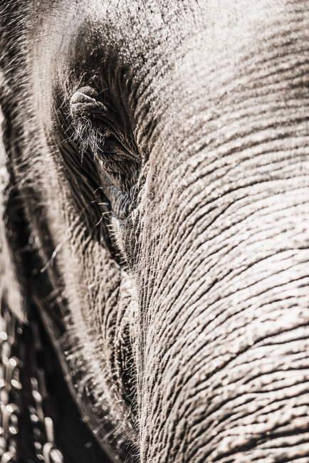 Gros plan de le œil des éléphants — Photo de stock