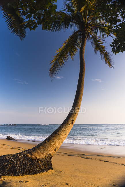 Дерево пальми, Мірісса пляж — стокове фото