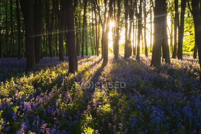 Bluebells in Bluebell woods with sun shining — Stock Photo