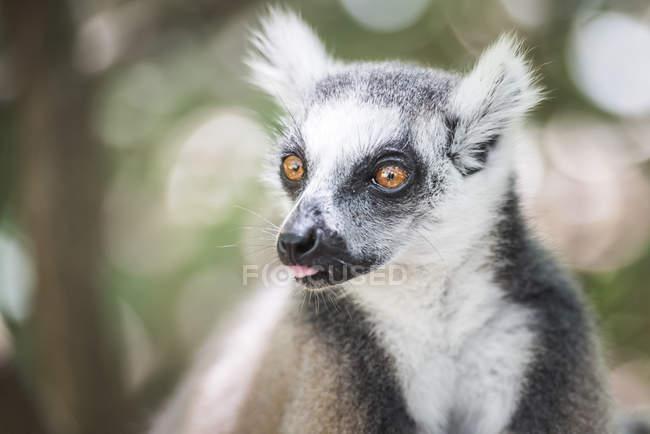Ring-tailed lemur on tree — Stock Photo