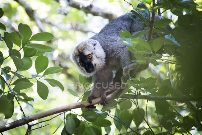 Red fronted brown lemur on tree — Stock Photo