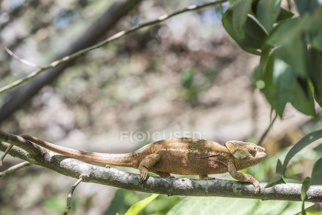 Camaleón Parsons en rama de árbol - foto de stock