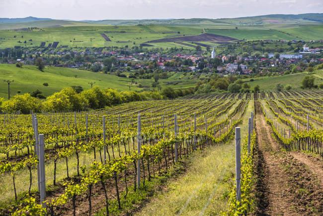 Vineyard landscape in Transylvania — Stock Photo