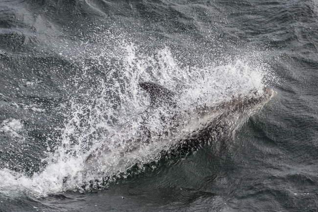 Дорослий білий Австралійська Дельфін — стокове фото