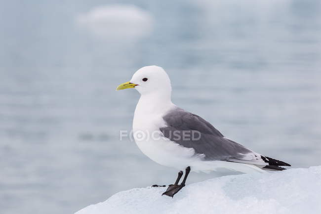Adult black-legged kittiwake — Stock Photo