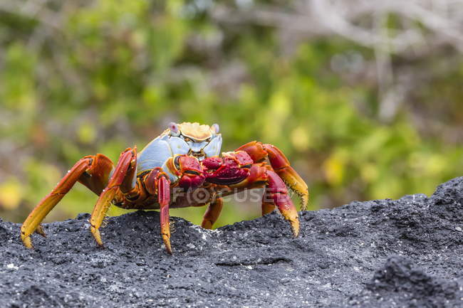 Sally lightfoot crab on rock — Stock Photo