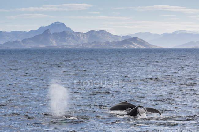 Baleines à bosse alimentation près d'Ilulissat — Photo de stock
