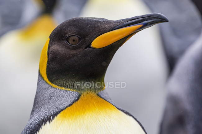 Close up of king penguin — Stock Photo