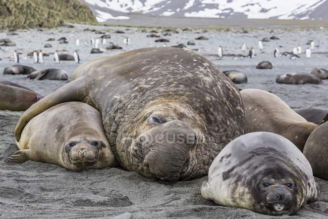 Éléphants de mer du Sud — Photo de stock