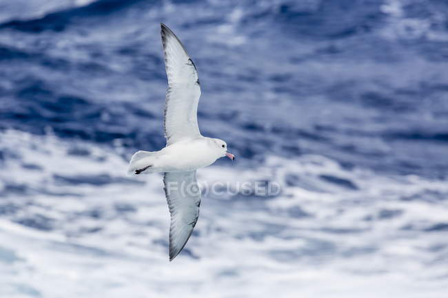 Adult Southern fulma in flight — Stock Photo