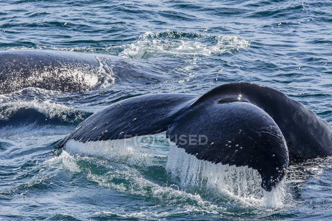 Ende der Buckelwal in Wasser — Stockfoto