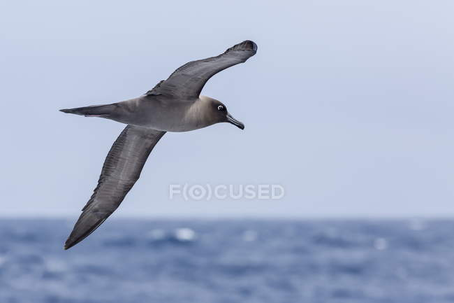 Light-mantled sooty albatross in flight — Stock Photo