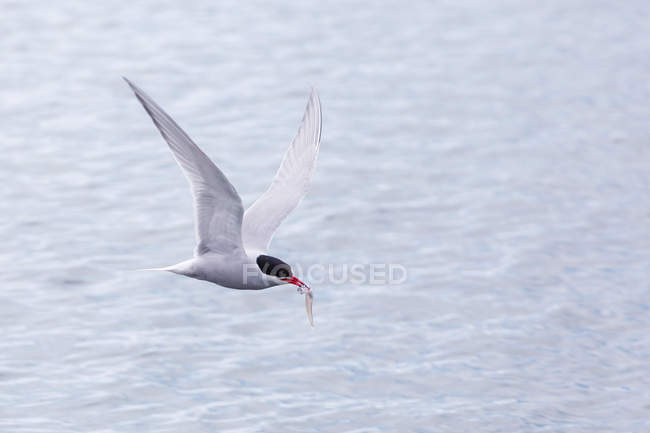 Adult Antarctic tern in flight — Stock Photo