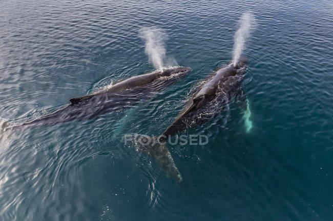Baleines à bosse dans l'eau — Photo de stock