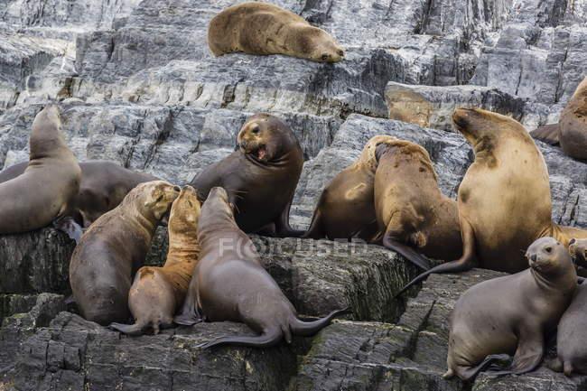 Leoni di mare di ican in Colonia riproduttiva — Foto stock