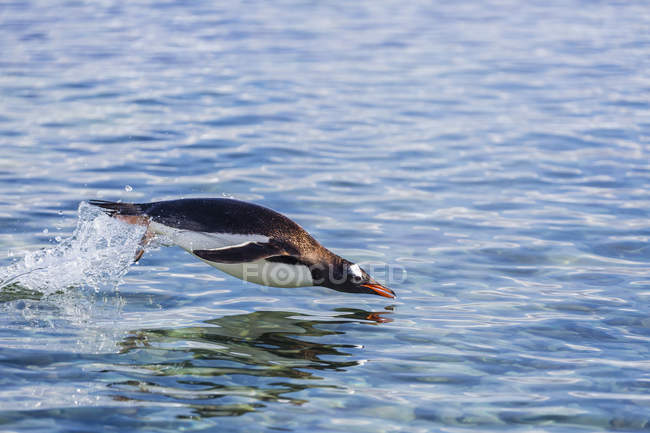 Gentoo penguin diving into water — Stock Photo