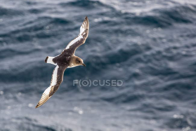 Antarctic petrel in flight — Stock Photo