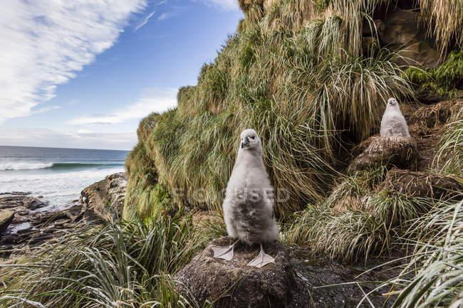 Filhotes de albatroz-de-sobrancelha — Fotografia de Stock