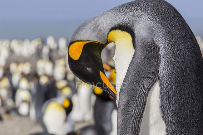 Adult king penguin at breeding colony — Stock Photo